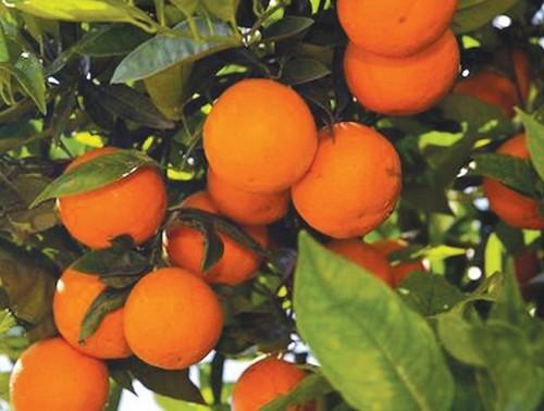 Апельсин сладкий, китайский — Citrus sinensis (L.) Pers