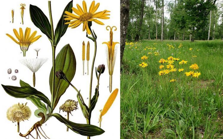 Арника горная — Arnica montana L.