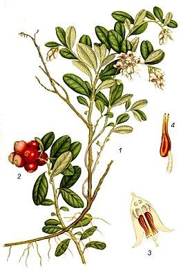 Брусника обыкновенная — Vaccinium vitis-idaea L.