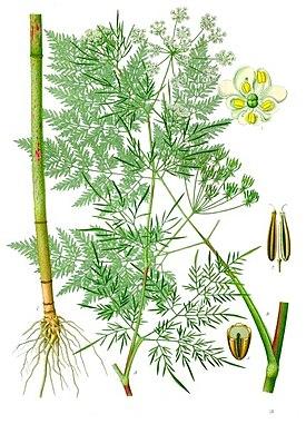Бутень клубненосный — Chaerophyllum bulbosum L.