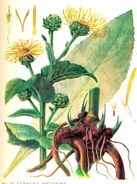 Девясил высокий — Inula helenium L.