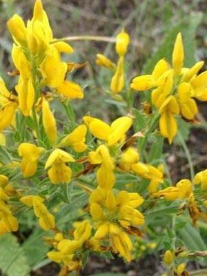 Дрок красильный — Genista tinctoria L.