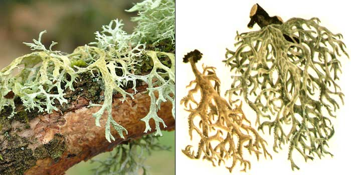 Дубовый мох— Evernia prunastri Ach