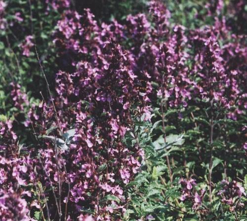 Дубровник обыкновенный — Teucrium chamaedrys L.