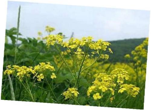 Горчица сарептская — Brassica juncea (L.) Czern.