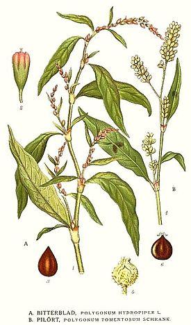 Горец перечный — Polygonum hydropiper L.