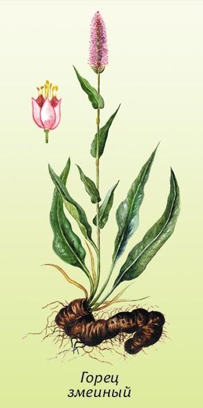 Горец змеиный — Polygonum bistorta L.