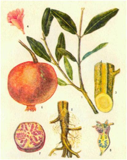 Гранат, гранатник — Punica granatum L.