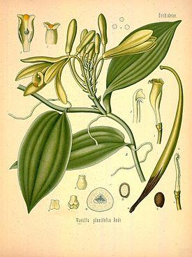 Ваниль душистая — Vanilla fragrans (Salisb.) Ames