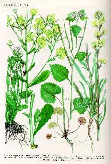 Чесночник черешчатый — Alliaria petiolata (Bieb.) Cavata et Grande
