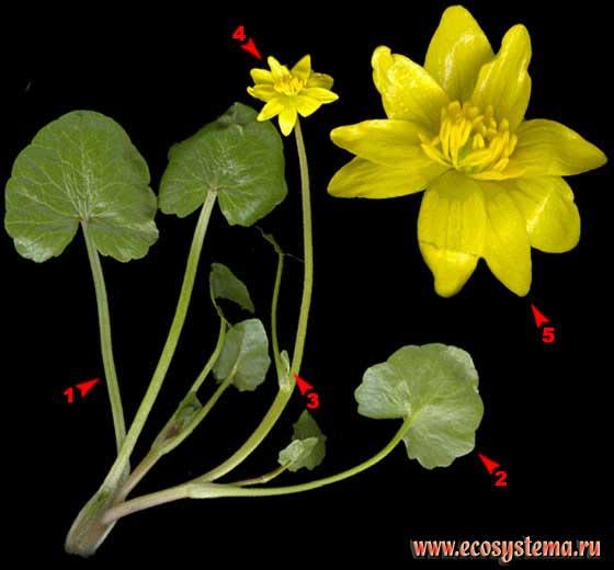 Чистяк весенний — Ficaria verna Huds
