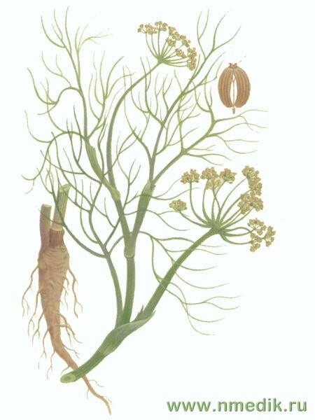 Фенхель обыкновенный — Foeniculum vulgare Mill
