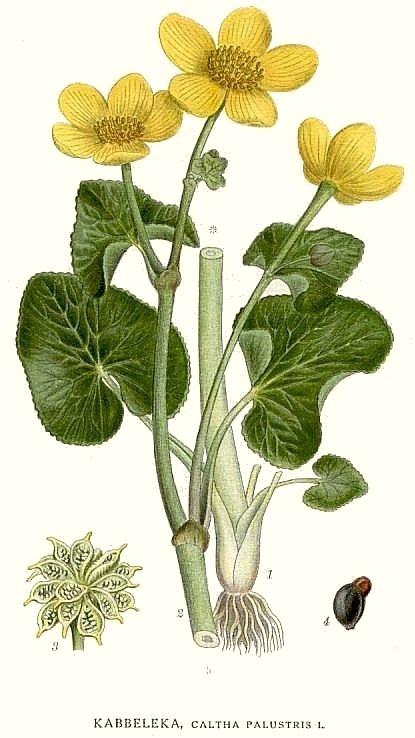 Калужница болотная — Caltha palustris L