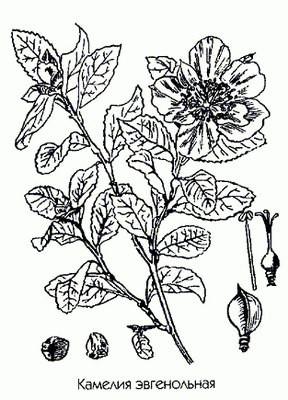 Камелия эвгенольная — Camellia sasanqua Thunb