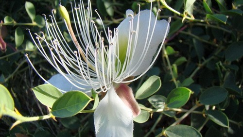 Каперсы травянистые — Capparis herbaceae Wilid