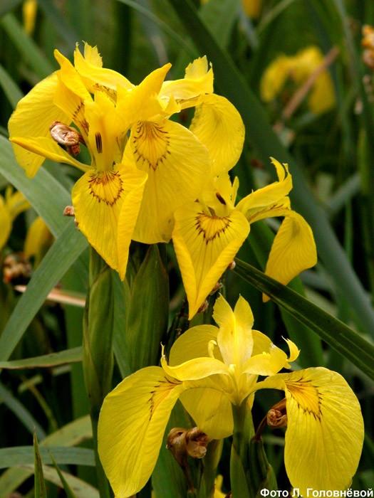 Касатик желтый — Iris pseudacorus L