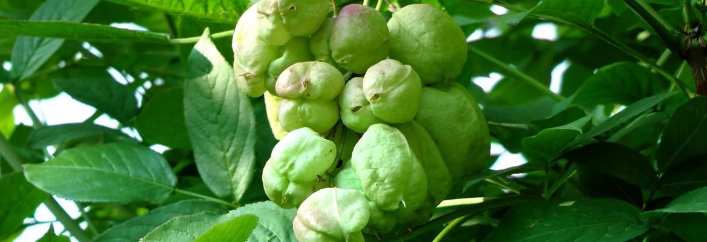 Клекачка перистая — Staphylea pinnata L