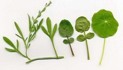 Клоповник посевной — Lepidium sativum L