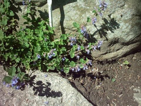 Котовник закавказский — Nepeta transcaucasica Grossch