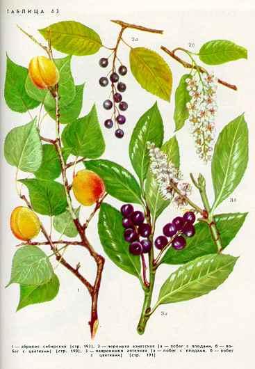 Лааровишня аптечная — Laurocerasus officinalis М. Roem