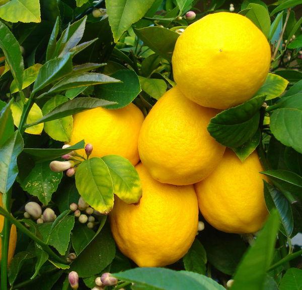 Лимон — Citrus limon (L.) Burm. fil
