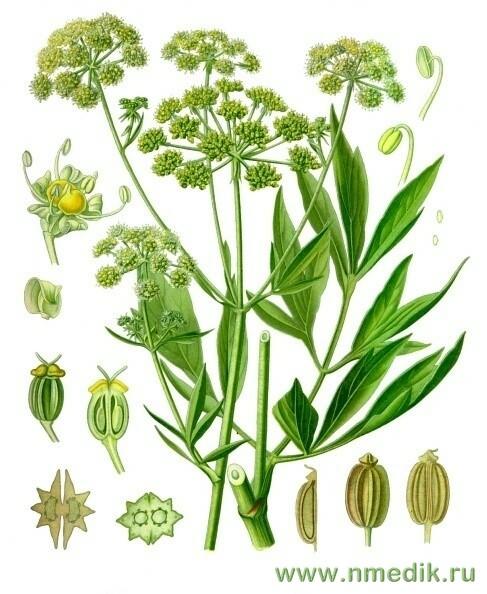 Любисток лекарственный — Levisticum officinalis Koch
