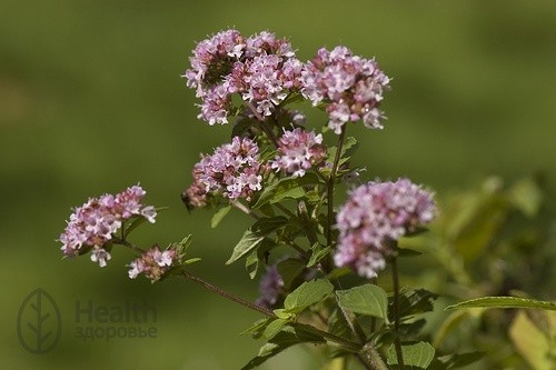 Майоран садовый — Majorana hortensis Moench