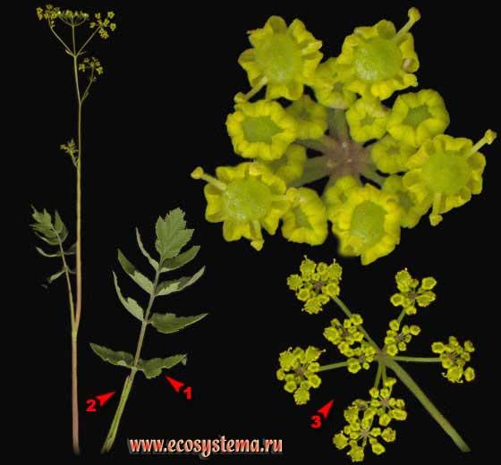 Пастернак посевной — Pastinaca sativa L