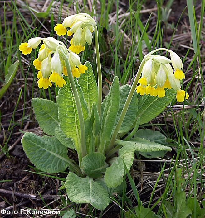 Первоцвет весенний — Primula veriz L