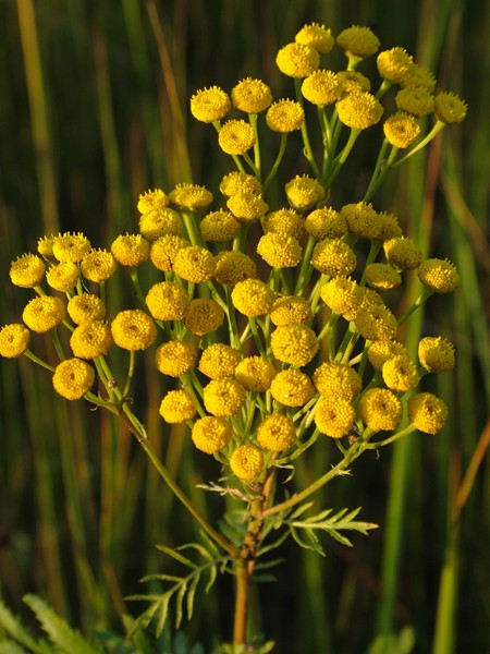 Пижма обыкновенная — Tanacetum vulgare L