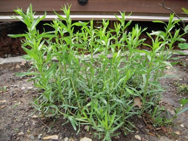 Полынь эстрагонная, тархун — Artemisia clracunculus L