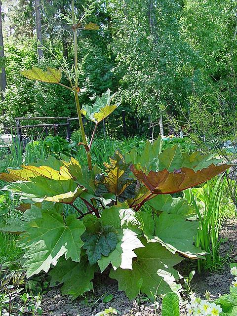 Ревень дланевидный, ревень лекарственный — Rheum palmatum L