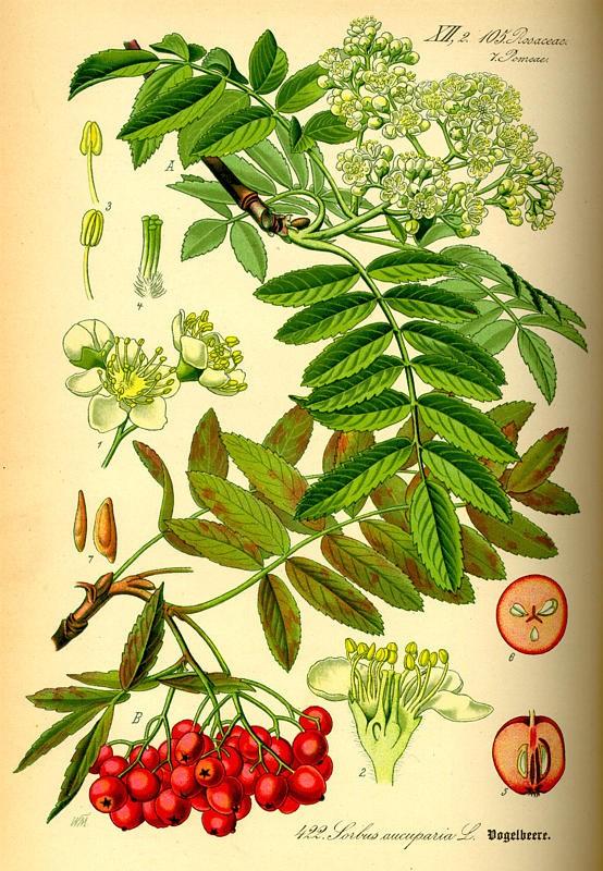 Рябина обыкновенная — Sorbus aucuparia L