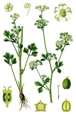 Сельдерей пахучий — Apium graveolens L