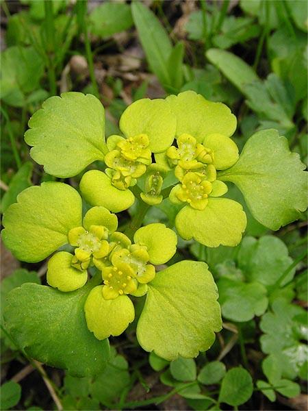 Селезеночник обыкновенный — Chrysosplemum alternifolium L