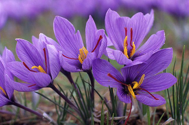 Шафран посевной — Crocus sativus L