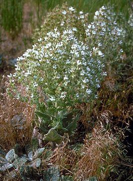 Шалфей эфиопский — Salvia aethiopis L