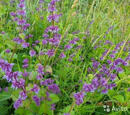 Шалфей мутовчатый — Salvia verticillata L