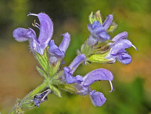 Шалфей прутьевидный — Salvia virgata Jacq