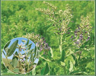 Солодка голая — Glycyrrhiza glabra L