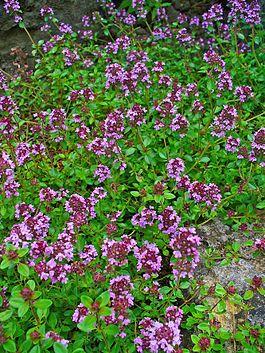 Тимьян Кочи – Thymus kotschyanus Boiss. et Hohen