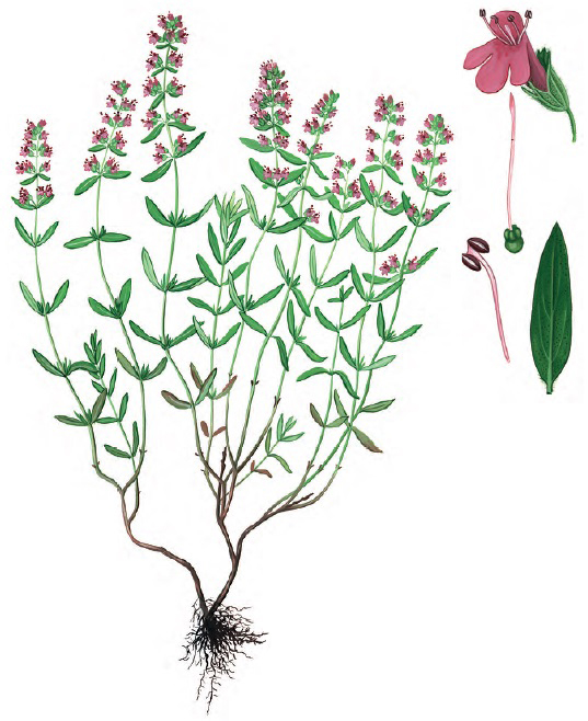 Тимьян Маршаллов — Thymus marschallianus Willd