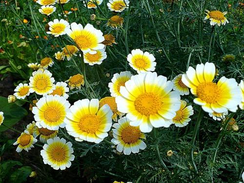 Хризантема увенчанная — Chrysanthemum coronarium L