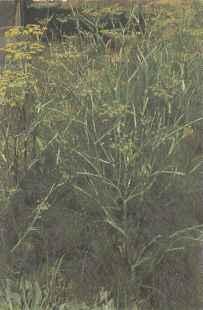 Цветущие растения фенхеля овощного