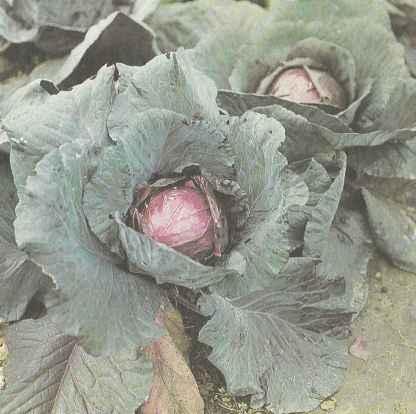 Растения капусты краснокочанной