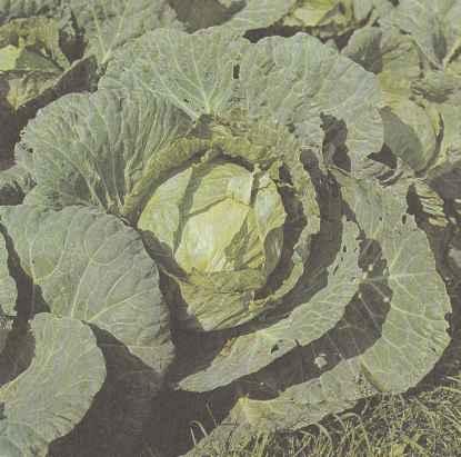 Среднеспелый сорт белокочанной капусты Лосиноостровская 8