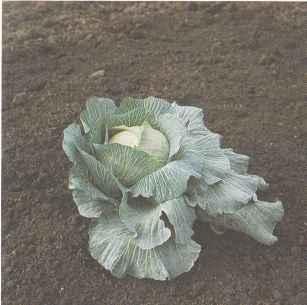 Сорт белокочанной капусты среднепозднего созревания Подарок