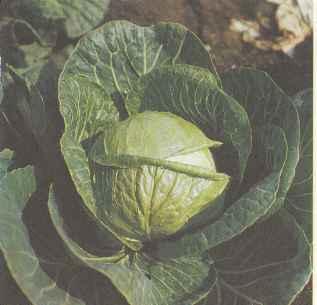 Раннеспелый сорт белокочанной капусты Куузику вараяне