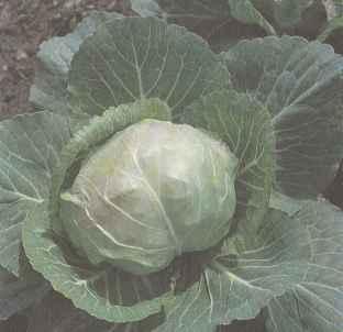Раннеспелый сорт белокочанной капусты Июньская