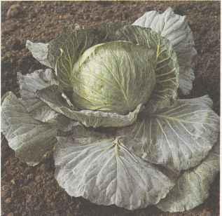 Среднеспелый сорт белокочанной капусты Слава 1305